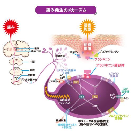 痛み発生のメカニズム : 推定されている作用 G : G蛋白[グアノシン三リン酸(GTP)結..
